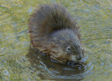Muskrat Capturing Crawfish VIDEO