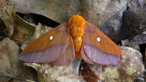 Pink-striped Oakworm Moth Video