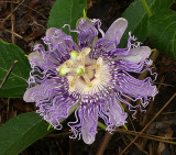 Passion Flower, Purple