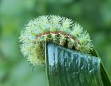 IO Moth Caterpillar (7746)