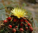 Cactus, Nipple