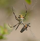 Orb Weavers (Family Araneidae)