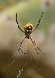 Silver Argiope Spider (Ventral)