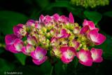 Hydrangea May 24