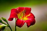Daylily June 2