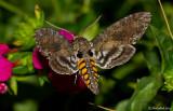 Hummingbird Moth July 23