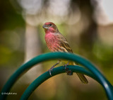 House Finch October 2