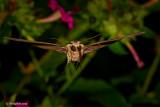 Hummingbird Moth October 24