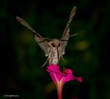 Hummingbird Moth October 25