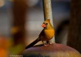 Cardinal December 7