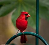 Cardinal December 18
