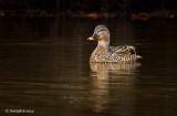 Duck January 17