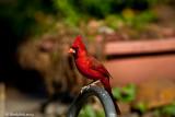 Red Bird February 28