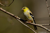 Gold Finch March 21
