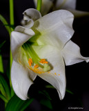 Easter Lily April 20