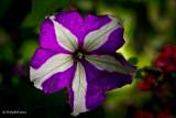 Petunia May 3