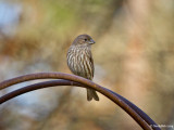 House Finch May 13