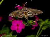 Hawk Moth May 21