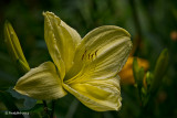 Day Lily June 10
