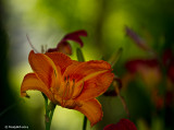 Day Lily June 12