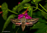 White Lined Sphinx Humming Bird Moth July 18