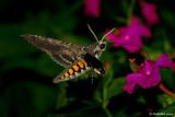 HummingBird Moth July 19