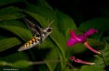 HummingBird Moth July 22