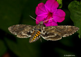 HummingBird Moth July 24