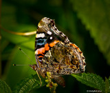 Red Admiral August 11