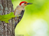 Red Bellied Wood Pecker June 6
