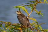 Red Winged Blackbird June 23