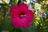 Hibiscus June 28