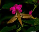 Hummingbird Moth July 27