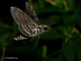 Hummingbird Moth July 30