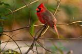 Cardinal January 12