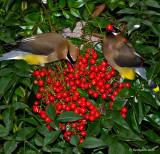 Cedar Waxwings March 28