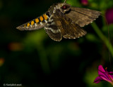Humming Bird Moth July 11