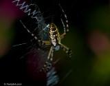 Garden Spider July 15