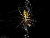 Garden Spider July 21