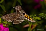 Humming Bird Moth August 12