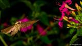 Humming Bird Moth August 13