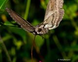 Humming Bird Moth August 30