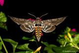 Humming Bird Moth September 1