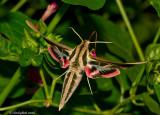 Humming Bird Moth September 8