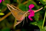 Humming Bird Moth