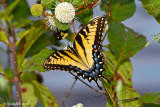 Yellow Eastern Tiger Swallowtail September 15