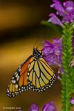 Monarch October 1