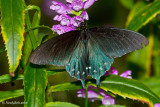 Pipevine Swallowtail October 26