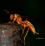 Red Wasp October 29