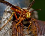 Red Wasp November 2